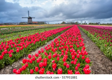 windmills and tulips rows in Netherlands