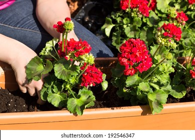 A window box is planted with geraniums