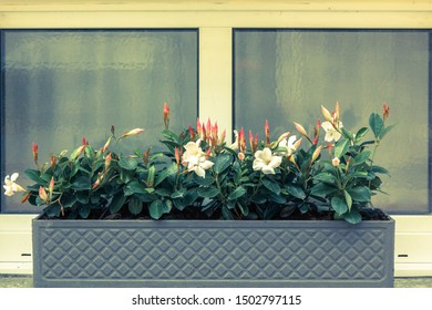 Window decorated with white flowers. Window Flower box with beautiful blooming flowers.