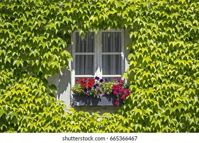A window in a farmhouse, framed by ivy and a flower box with geraniums and petunias.