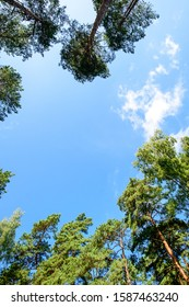 Window of firs, looking up, shot with fisheye lens. blue sky in a pine forest, view of the sky through tall trees