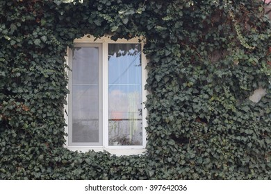 Window house overgrown with ivy
