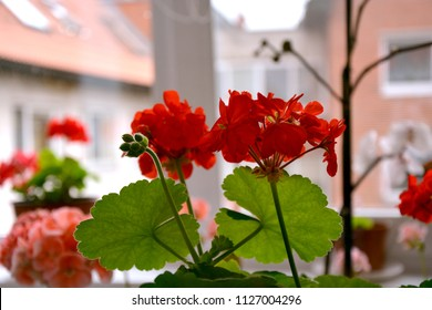Window sill with a red blooming geranium on the background of the  old city. Potted flowers indoors