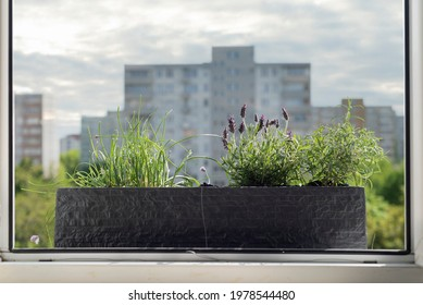 Windowsill garden: rosemary, lavender, chive. Fresh herbs in the city garden. Plants for bees. Little green scenery in the city scape.