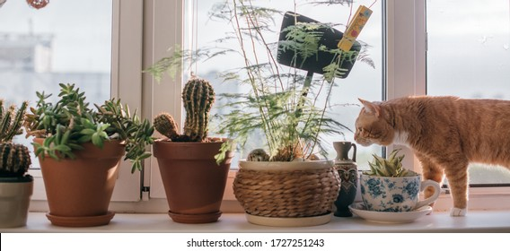 A windowsill with many pots of flowers and a cat. Close-up of pots, cacti, succulents and leafy plants on the window on a sunny day. Cat sniffing plants