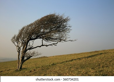 Wind-shaped tree in winter, Bembridge Down, Isle of Wight, England, UK.