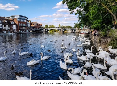 WINDSOR, ENGLAND - September 12, 2018 - View of Windsor with flock of royal white swans and other, floating gracefully in the morning on the River Thames, it's home to Windsor Castle, London, England.