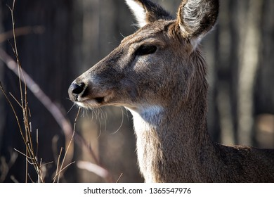 Windsor, Ontario March 26 2019 Fauna Mammals Deer Head Closeup Ojibway Park