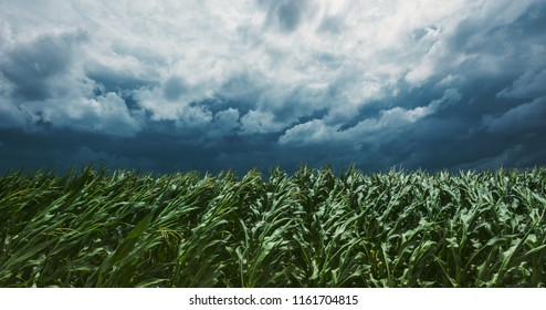 Windstorm in maize crop field with dramatic stormy clouds in background