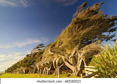 Windswept coastal trees at Slope Point in New Zealands Catlins region.
