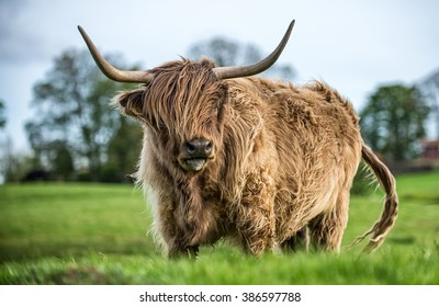 Windswept Highland cattle grazing in a green pasture