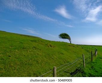 windswept lonely tree in a field