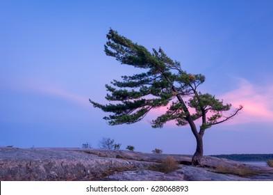 Windswept Northern White Pine at Sunset