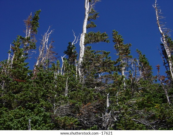Windswept pines at 11,500 ft near Jenny Lake, Indian Peaks Wilderness, Colorado