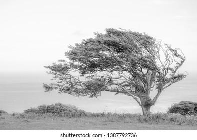 Windswept Tree at Beachy Head