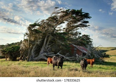 Windswept Tree with bulls - Shutterstock ID 178333625