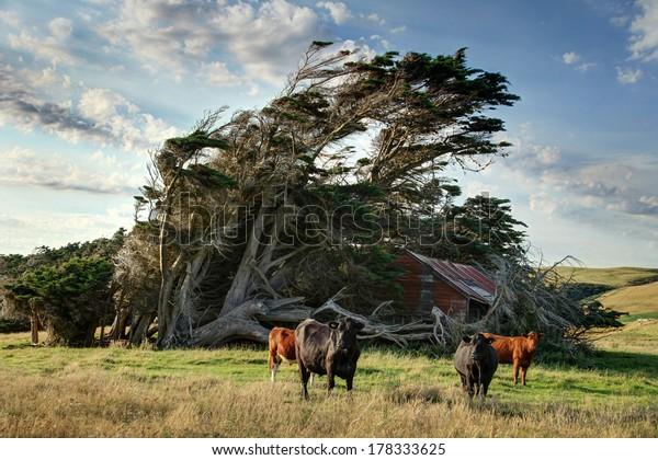 Windswept Tree with bulls