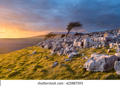Windswept tree on the edge of Twistleton Scar limestone pavement in the Yorkshire Dales with moody clouds and dramatic evening light illuminating the landscape.