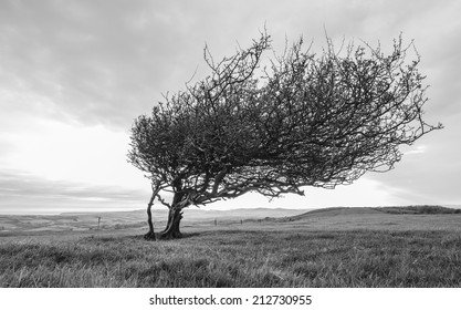 Windswept tree on a high hill overlooking Purbeck and Dorset coastline in black & white