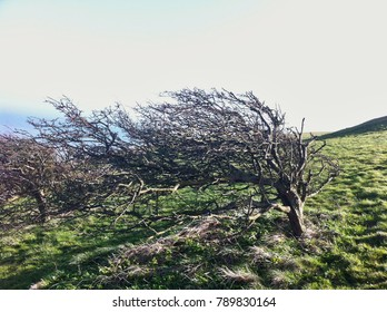 Windswept tree on top of the South Downs in East Sussex, England.