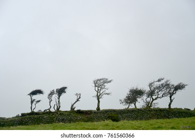 Windswept trees on Countisbury, Exmoor, North Devon