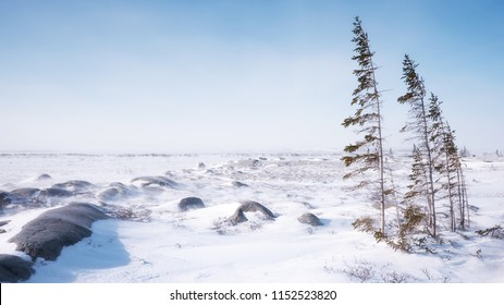 A windswept tundra landscape on a cold winter day in northern Canada, with a few thin trees struggling to survive in the barren terrain and harsh subarctic climate.