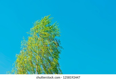 windy birch tree