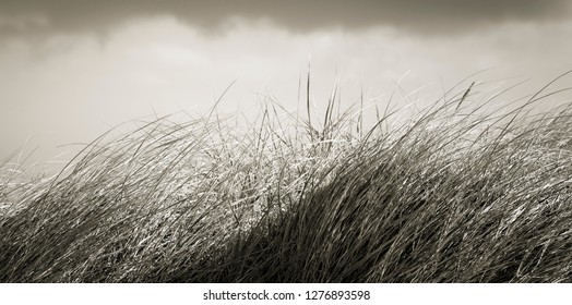 windy grass in Sylt