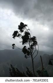 Windy tree at the Munnar hilltop, Kerela, India