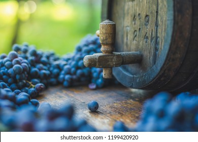 Wine barrel with blue Cabernet Franc grapes on harvest season in Hungary