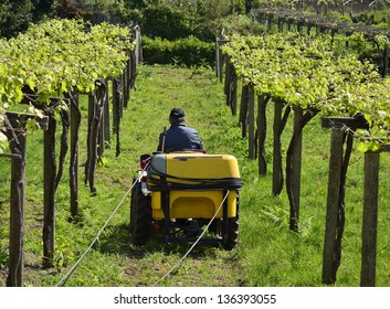 Wine business. A man works with a tractor. Traditional labor in a sunny day. Grapes grow in a vineyard.