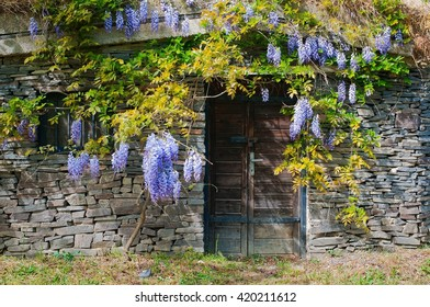 Wine cellar built from stones with purple acacia in village Maly Hores, Slovakia