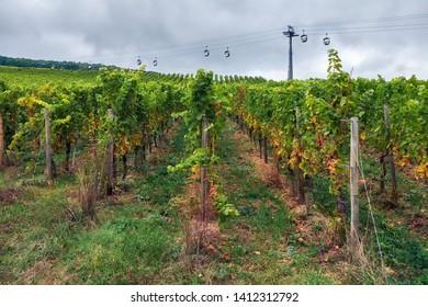 Wine field around Rudesheim am Rhein with tourists cableway on a background town in Germany