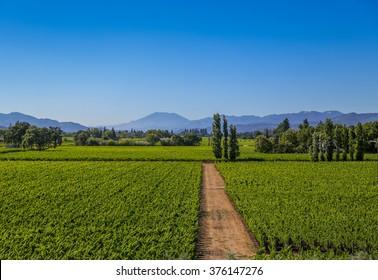 Wine field at Napa