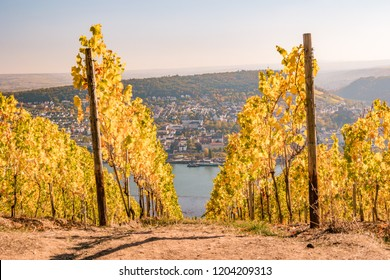 wine fields of rudesheim during harvest fall season, autumn look at the countryside Rudesheim Germany