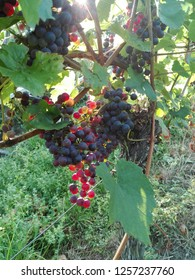 A wine grap