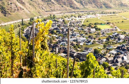Wine grape trees on the hills of the river in Europe