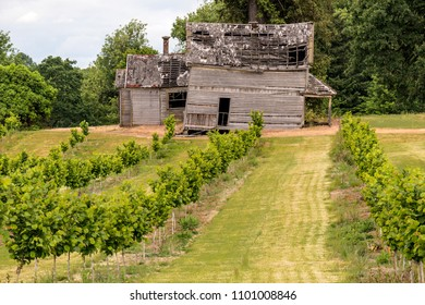 Wine Grape Vineyards and Old Broken, Decaying, Dilapidated Wooden House with Windows, Door and Porch.
