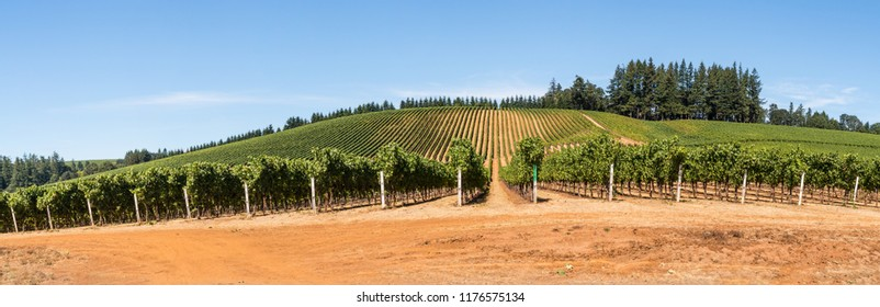 Wine Grape Vineyards, Rows, Trellis and Sky in Panoramic