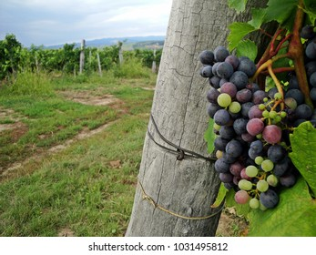 Wine grapes in Eger, Hungary
