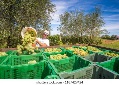 Wine grapes a the harvest