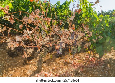 Wine grapes infected with the vines parasite mildew, a vines disease which causes the grapes and the plant to gradually dry.