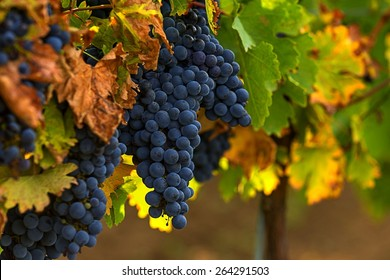 Wine grapes. Merlot is a dark blue-colored wine grape variety, that is used as both a blending grape and for varietal wines.The name Merlot is thought to be a diminutive of merle,french name of a bird