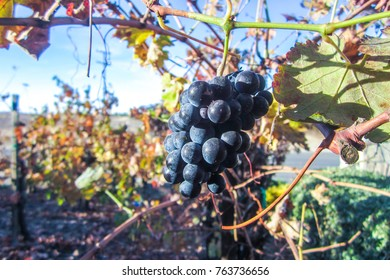 Wine Grapes on vine in autumn