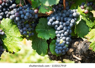 Wine grapes on the vine, blue grapes for winemaking