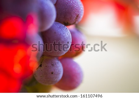 Wine grapes on a vine branch in morning sunlight