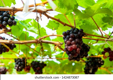 Wine grapes in PB Valley Khao Yai, Northern Thailand. Harvesting of wine grapes is from end of January to the middle of March each year but table grapes are grown and harvested all year around.