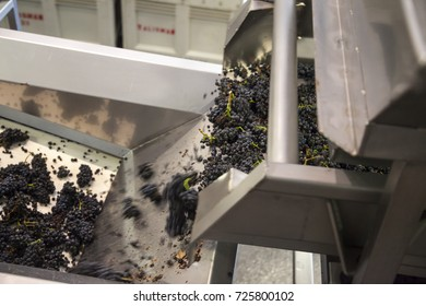wine grapes pouring from a hopper onto a conveyor belt to be sorted by hand.