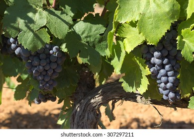 Wine grapes in a Provence vineyard...