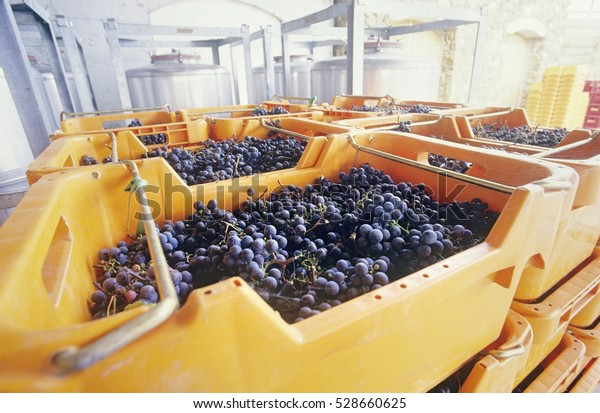 Wine grapes ready for crushing, Yarra Valley, Victoria, Australia